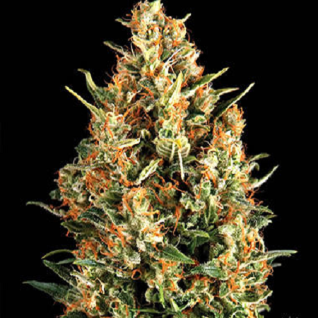 Pyramid Seeds Auto Wembley Feminized