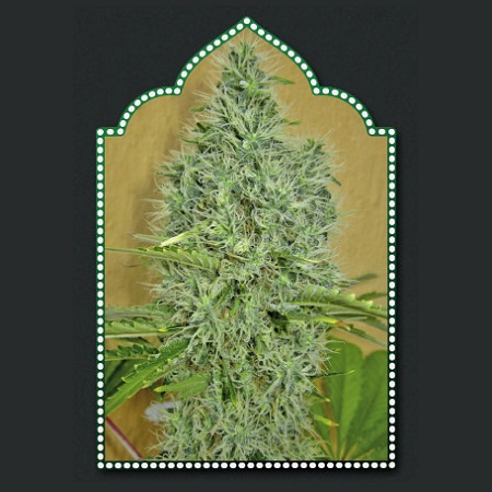 OO Seeds Auto Afghan Mass Feminised