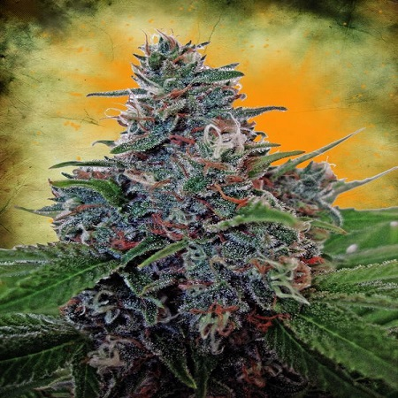 Bulk Seeds Auto Blue Amnesia Feminized