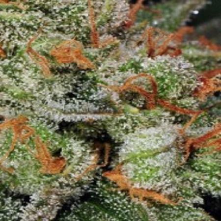 T.H.Seeds Auto Bubblegum Feminized