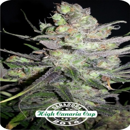 Dispensario Seeds Auto Clinical Feminized