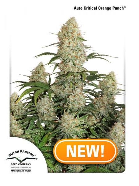 Dutch Passion Seeds Auto Critical Orange Punch Feminized