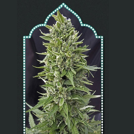OO Seeds Auto Northern Lights Feminized