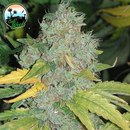 Raspberry Zkittlez Auto - Feminized - Cali Weed