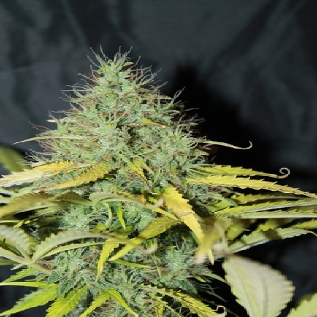 Skunk #1 Auto – Feminized – Seedsman