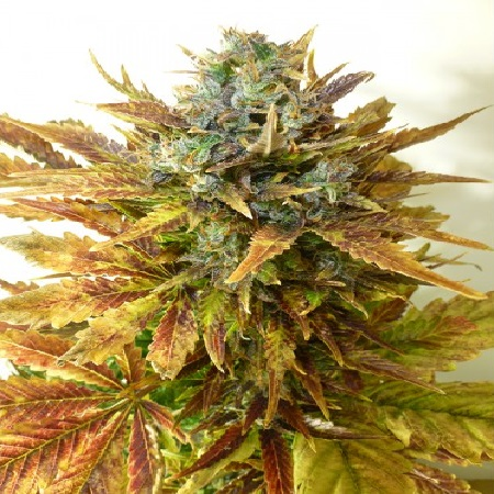 Auto Sour Diesel Haze – Feminized – Seedsman