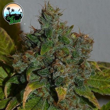 Strawberry Gelato Auto - Feminized - Cali Weed