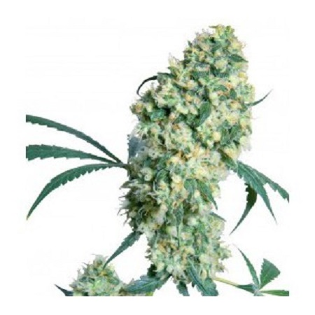 Bulk Seeds Auto Superbud Feminized