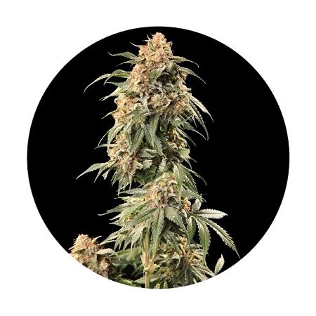 Top Tao Seeds Auto Tao Mix #2 Regular