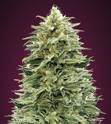 Auto Amnesia - Feminized - Advanced Seeds