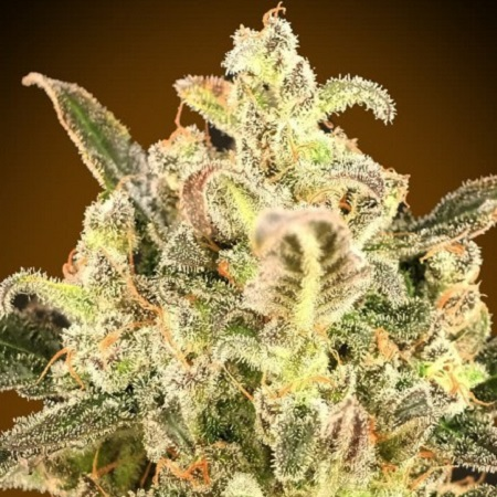Auto Biodiesel Mass XXL - Feminized - Advanced Seeds
