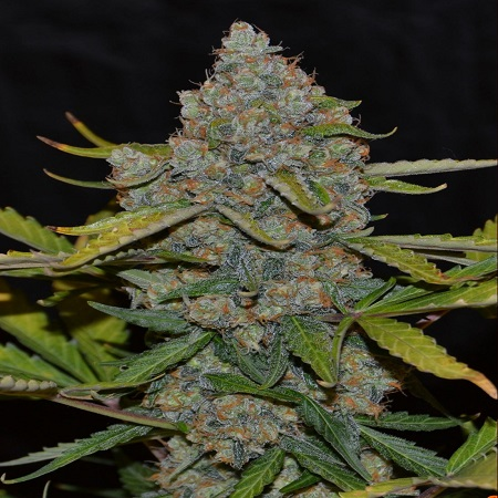Cannabiogen Seeds Auto CBG Feminized