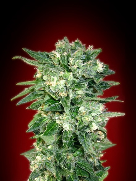 Advanced Seeds Auto Kaya 47 Feminized