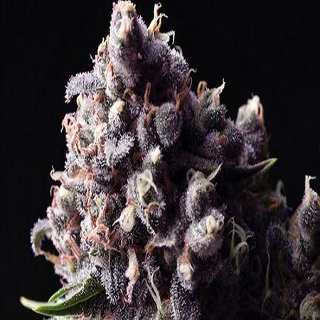 Bluk Seeds Auto Purple Feminized
