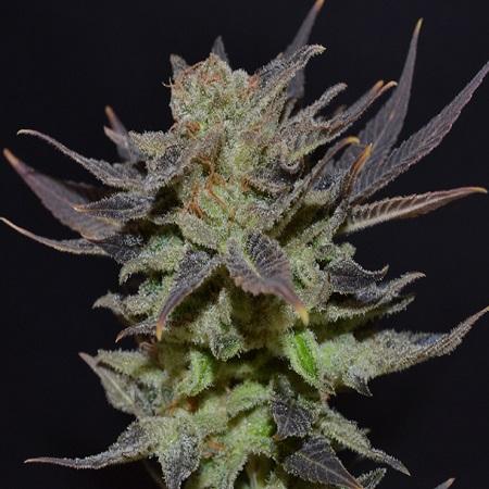 CBD Seeds Auto Lavender Feminised