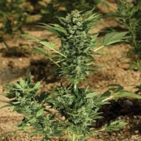 Paradise Seeds Automaria Feminized