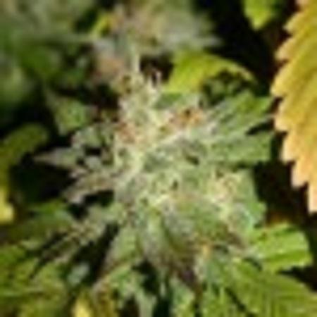 Blimburn Seeds Automatic Kid Feminized (PICK N MIX)