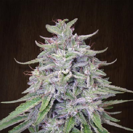 Ace Seeds Bangi Haze Feminized (PICK N MIX)