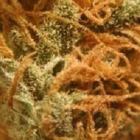BC Bud Depot Seeds BC Monterey Jack Feminised