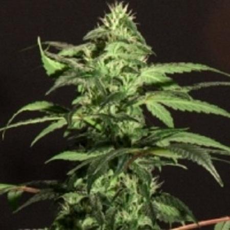BC Bud Depot Seeds Jack Herer Feminized