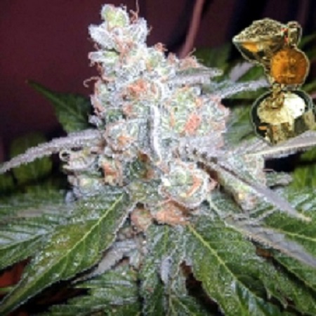 BC Bud Depot Seeds The Purps Feminised