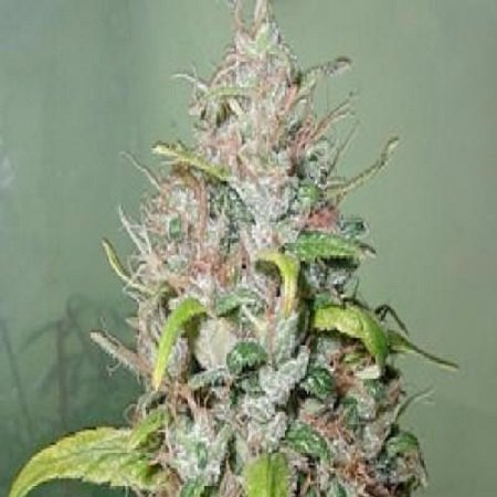 Next Generation Seeds Island Sweet Skunk Feminized