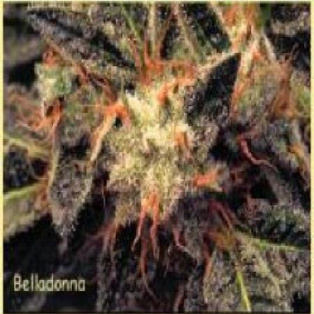 Paradise Seeds Belladonna Regular