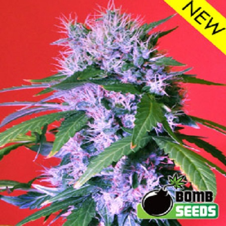 Bomb Seeds Berry Bomb Feminized