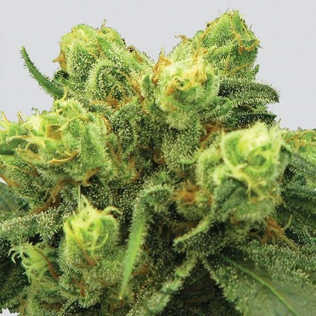 Big Bud - Regular - Nirvana Seeds