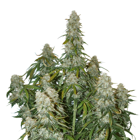 Seed Stockers Seeds Big Bud Auto Feminized