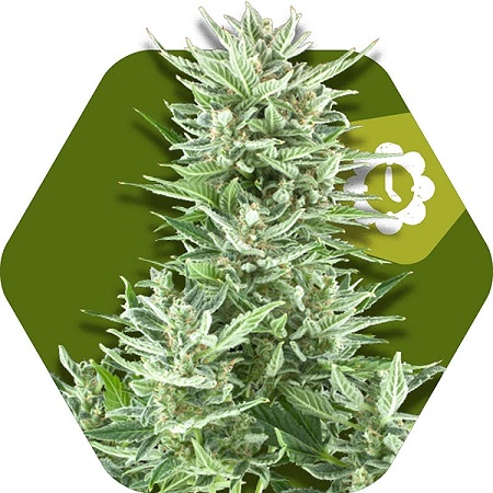 Zambeza Seeds Big Bud XL Auto Feminized