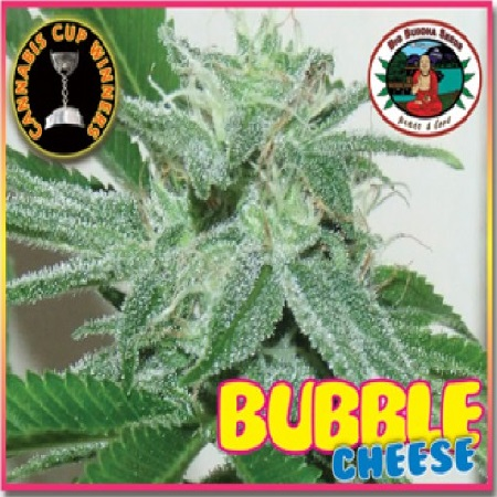 Big Buddha Seeds Bubble Cheese Feminized