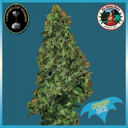 Big Buddha Seeds Cheesy Dick Feminized