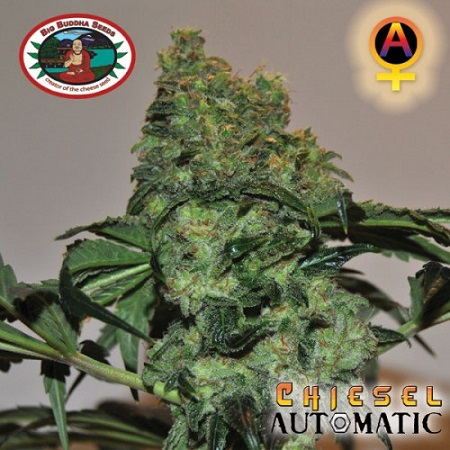 Big Buddha Seeds Chiesel Automatic Feminised