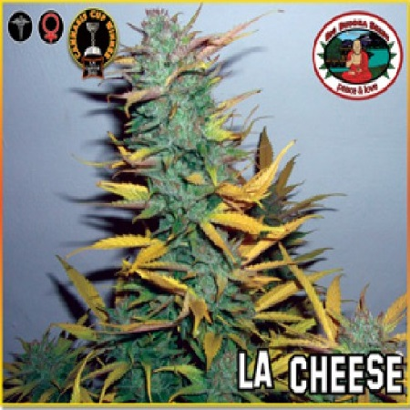 Big Buddha Seeds L.A. Cheese Feminized