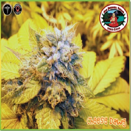 Big Buddha Seeds Cheese Dawg Feminized