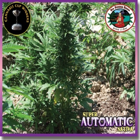 Big Buddha Seeds Super Automatic Sativa Feminized