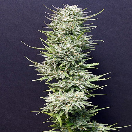 Big Head Seeds Big Freeze Feminised
