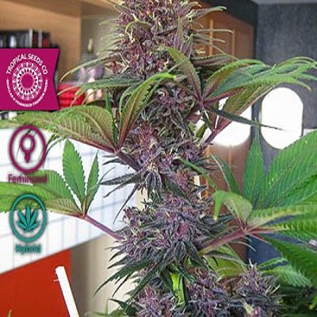 Tropical Seeds Co Bisho Purple Feminized