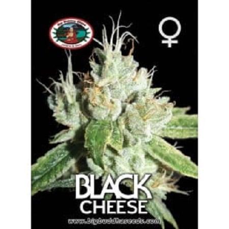 Black Cheese - Feminized - Big Buddha Seeds