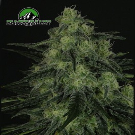 Ripper Seeds Black Valley Feminised (PICK N MIX)
