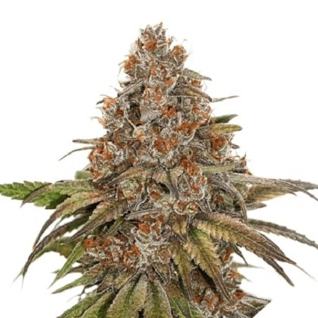 Seed Stockers Seeds Blackberry Gum Auto Feminized