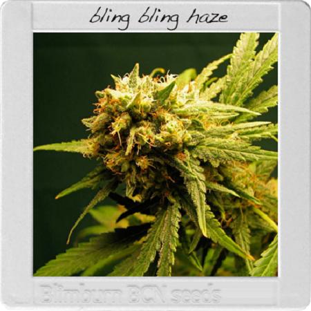 Blimburn Seeds Blimburn Bcn Range Bling-Bling Haze Feminized