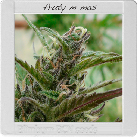 Blimburn Seeds Blimburn Bcn Range Fruity M Mas Feminized