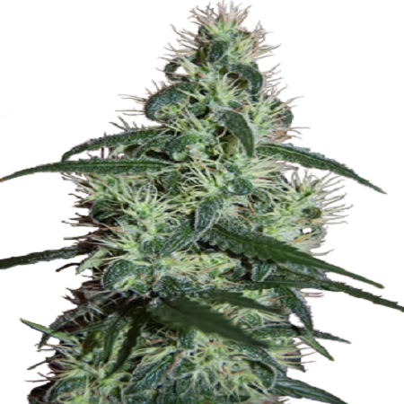 Seedmakers Seeds Blizzard Feminized