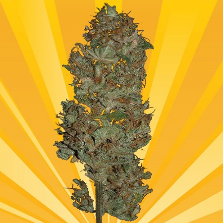 Freedom of Seeds Blue Angel Feminized