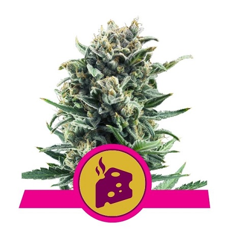 Blue Cheese - Feminized - Royal Queen Seeds