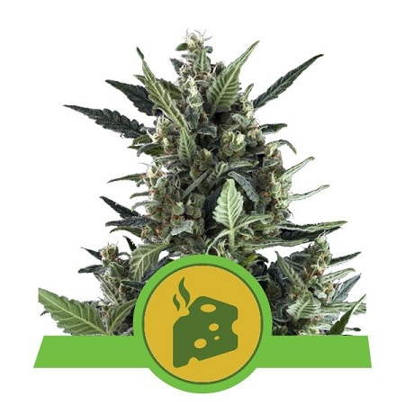 Blue Cheese Auto - Feminized - Royal Queen Seeds