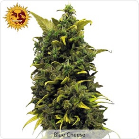 Barney's Farm Seeds Blue Cheese Feminized