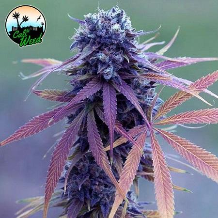 Blue Dream Auto - Feminized - Cali Weed